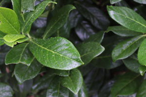 Prunus laur. Novita